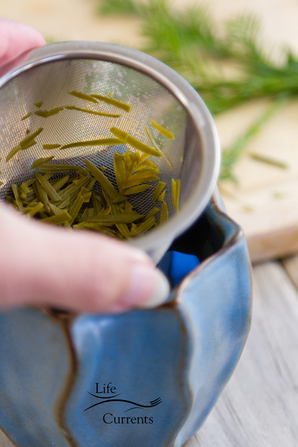 Healing Evergreen Tea - Different evergreens have different flavors