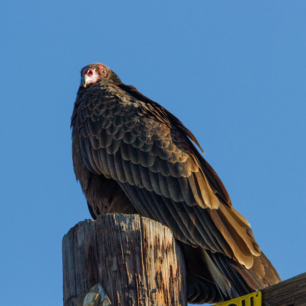 a turkey vulture sitting on top of a telephone pole spotted while backyard birding
