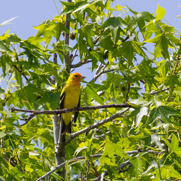 A western tanager sitting on a branch in a tree spotted while backyard birding