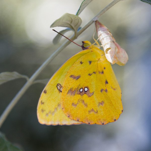 a cloudless sulpher butterfly hanging from its chrysalis spotted while backyard birding