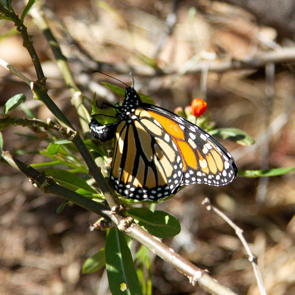 a monarch butterfly laying an egg on milkweed plants
