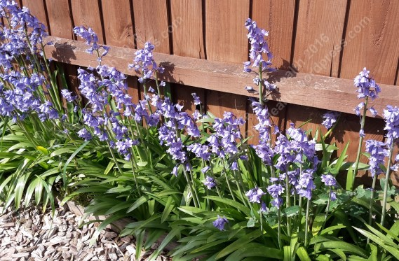 Bluebells bursting into the borders!