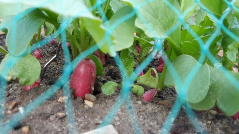 Radishes poking out from the netting