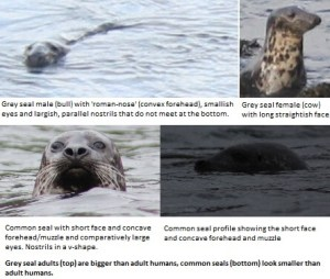 Distant meeting with seals