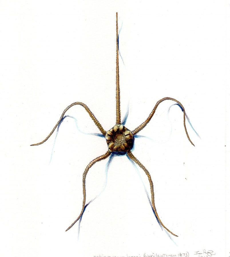 Deep sea brittle star