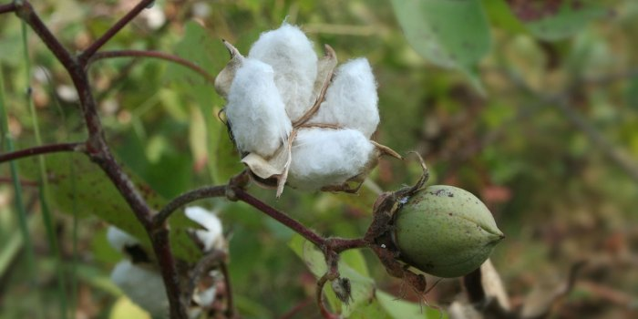 Organic Cotton and Sustainable Fashion