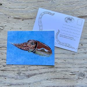 little Atlantic cuttlefish postcard