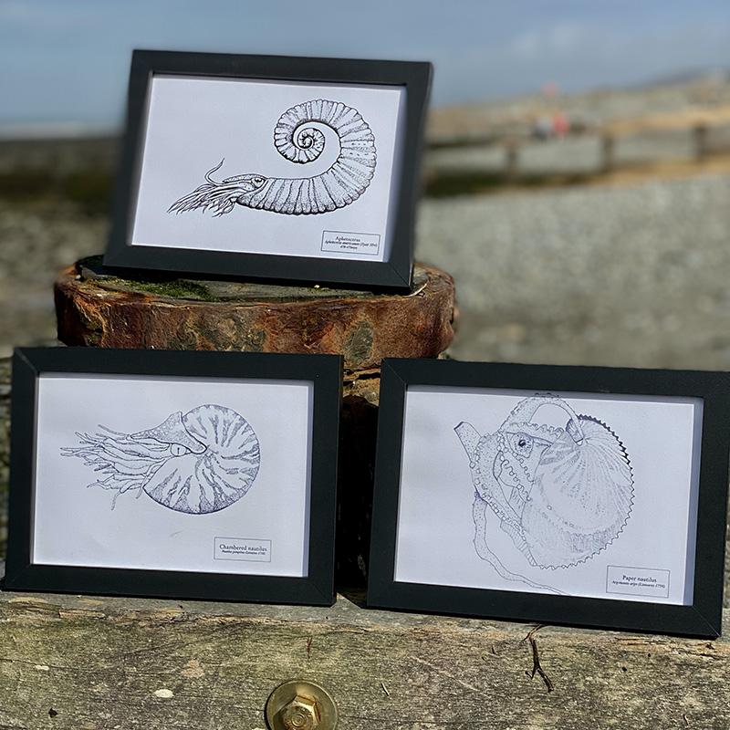 Three Shelled Cephalopod Fine Art Prints
