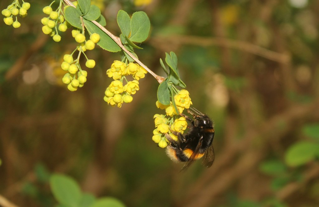 conservation news - bees love the barberry plant