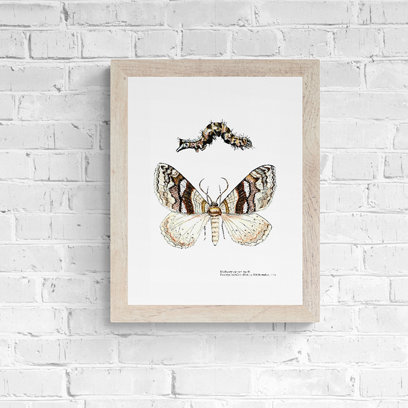 Barberry Carpet Moth Fine Art Print
