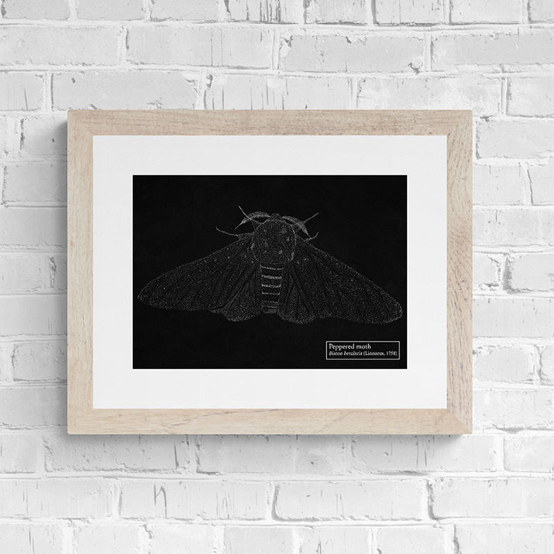 Black Peppered Moth Fine art print