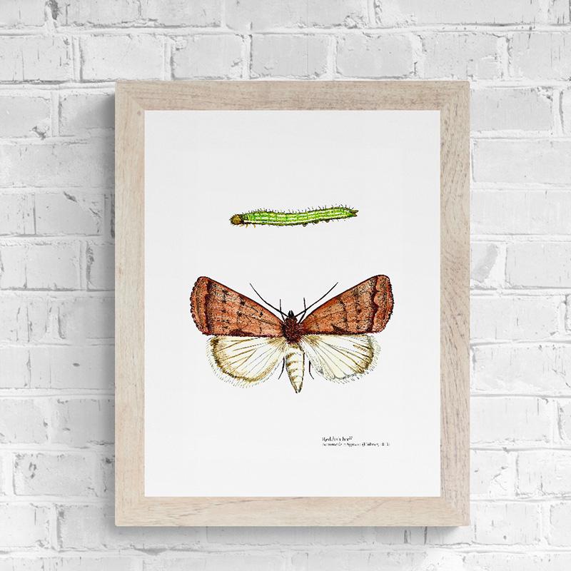 Reddish Buff Moth Fine Art Print