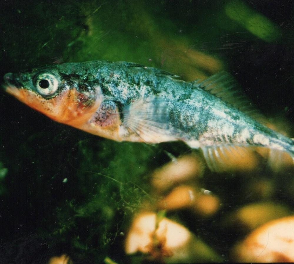 Male Stickleback