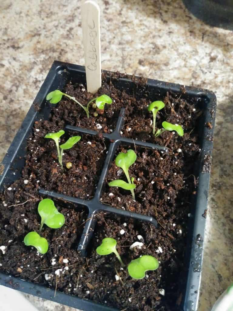 how to transplant seedlings transplanted cabbages life full and frugal