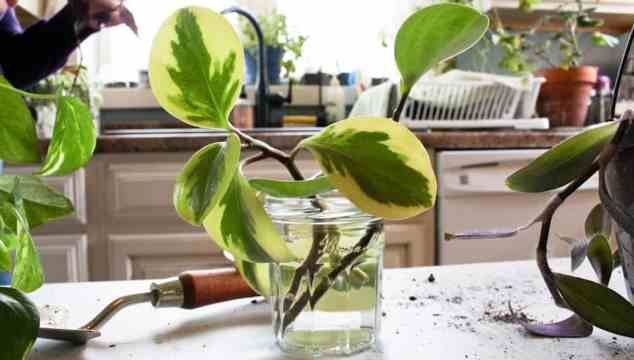 a plant cutting placed in water life full and frugal