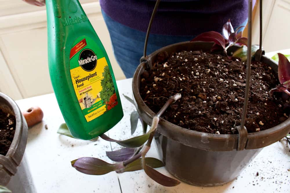 Hanging Baskets from House Plant Cuttings use plant food life full and frugal