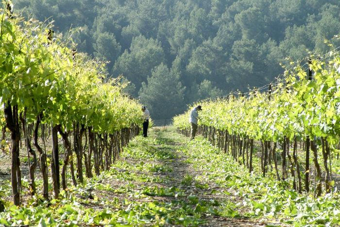 Израиль, виноградники, вино, Галилея