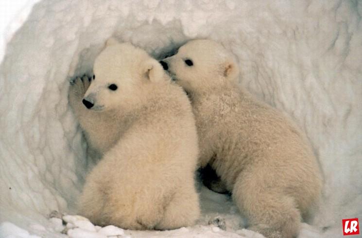 фишки дня - 27 февраля, день полярного медведя, белые медведи