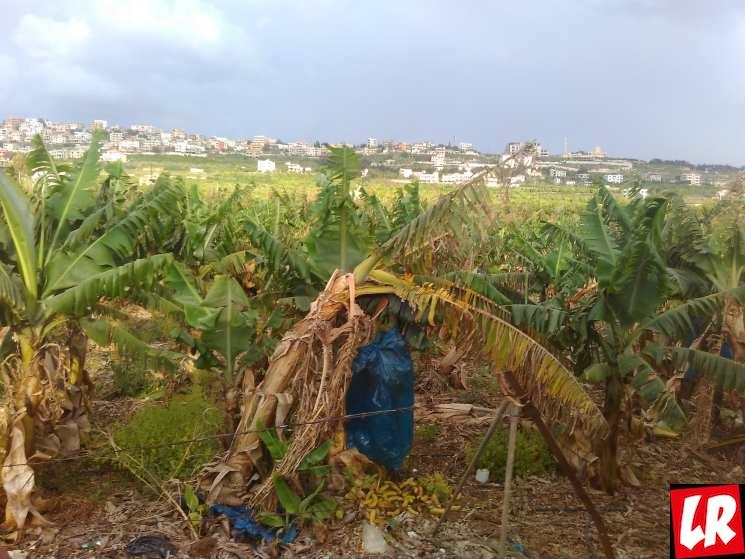 Ливан, Тир, Сур, банановые плантации