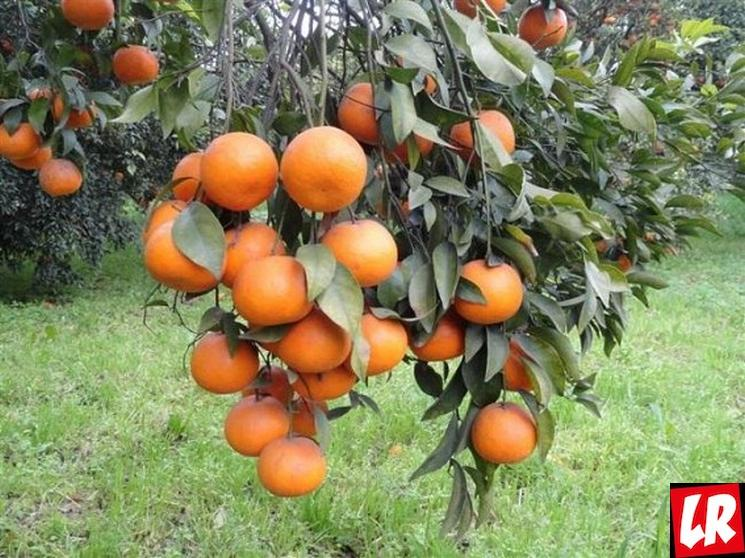 фишки дня - 27 июня, День цветения апельсина США