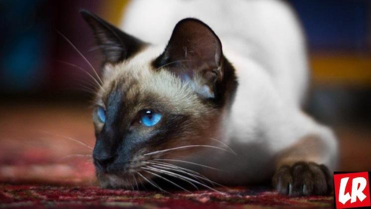 фишки дня - 29 октября, день кошек США, сиамская кошка