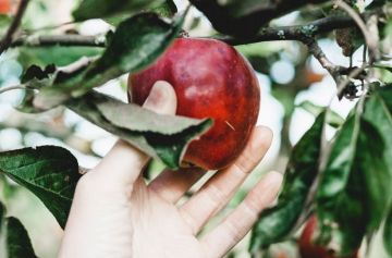 фишки дня, день яблока Англия