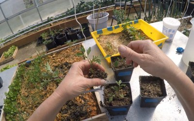 Transplanting – Tomatoes & Peppers