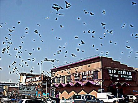 A man threw out some seeds on the sidewalk which sent all the pigeons wild fluttering to get some seeds.