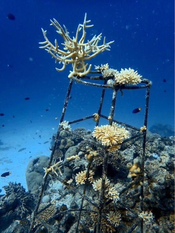 Sadzenie rafy koralowe. Odradzająca się rafa i rosnące koralowce.