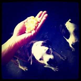 cheesedogs