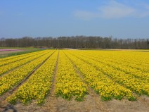 Field of daffodils near Lisse, The Netherlands