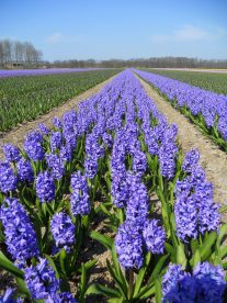 Perfect rows of flowers in Lisse, The Netherlands