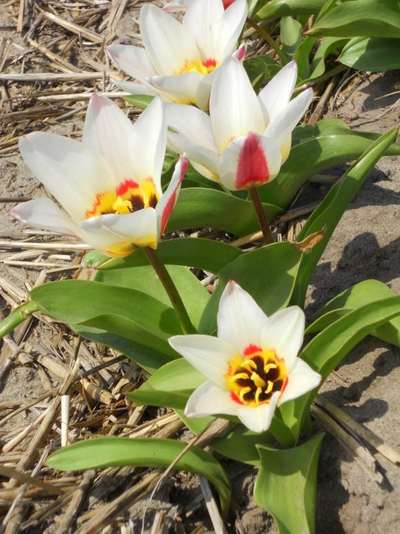 Close-up of hybrid tulips