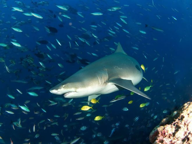 Madagaskarinis aštriadantis ryklys po vandeniu
