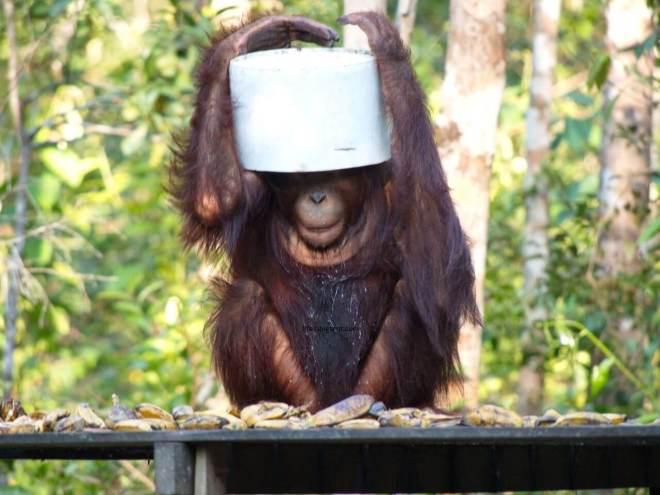 Orangutanas užsidėjęs kibirą ant galvos