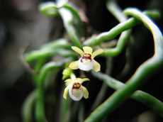 Interesting facts about Indonesia - Taeniophyllum orchid