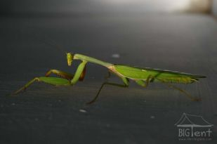 Mantis religiosa in bathroom