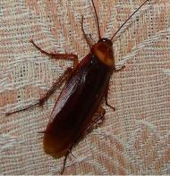 Cockroach at home