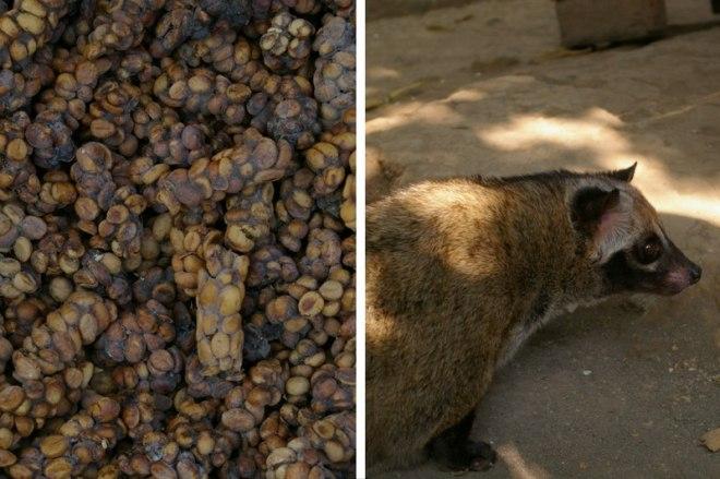 First time in Indonesia - kopi luwak
