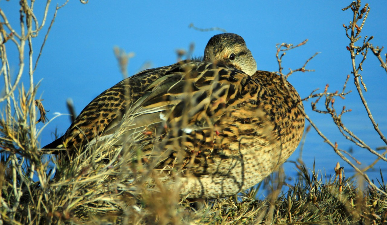 brown duck peeking