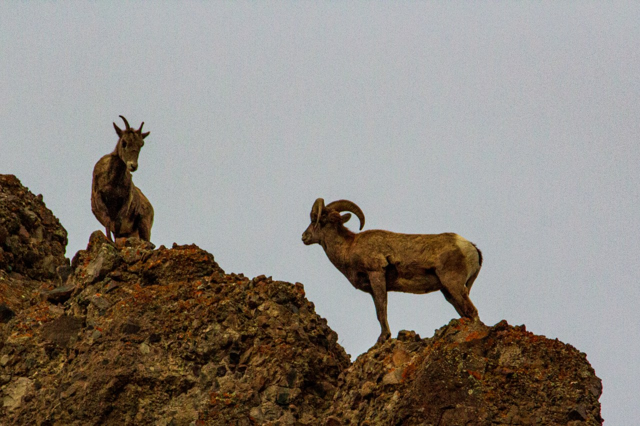 Bighorn sheep on peak