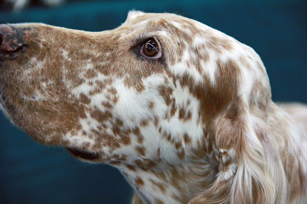English Setter portrait