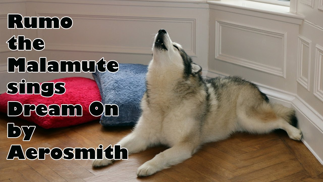 Rumo the Alaskan Malamute singing along to Dream On by Aerosmith.