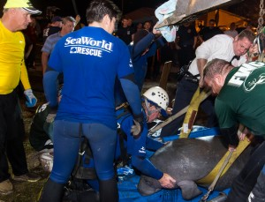 SeaWorld_Orlando_Animal_Rescue_Team_assists_with_19-manatee_rescue