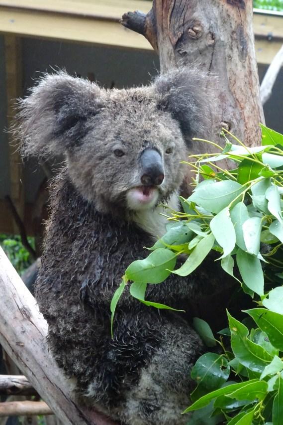 A Koala eating (fatty)