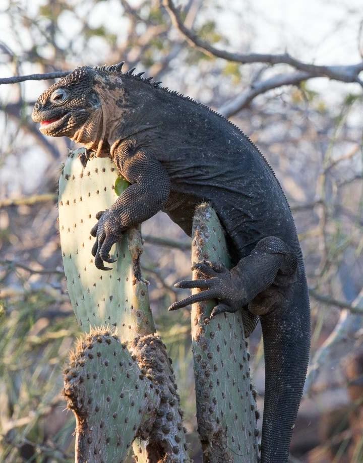 iguana on cactus