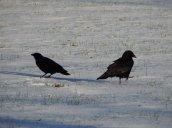 crowsoswego