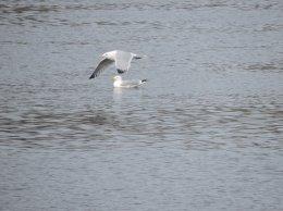 ring-billed gull river Fulton