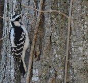 hairy woodpecker GHL