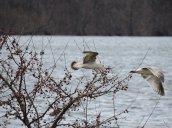 flying gulls Lake Neatahwanta2